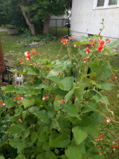 runner beans (Painted Lady)