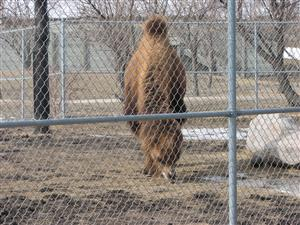 Fargo zoo Bactrian camel