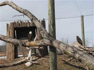 Fargo zoo eagles