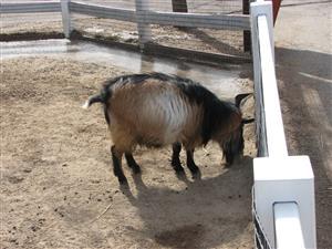Fargo zoo goat