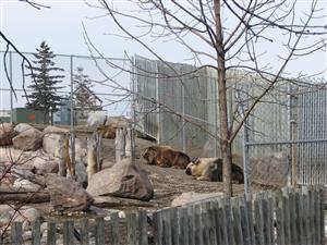 Fargo zoo Sichuan takin