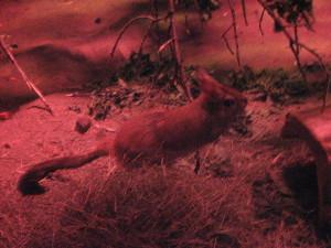 desert nocturnal Bush-tailed Jird