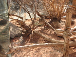 desert Cape Thick-knee
