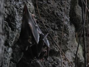 jungle bats roosting