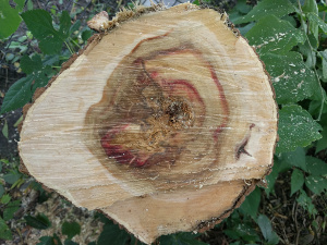 tree cut with red stain