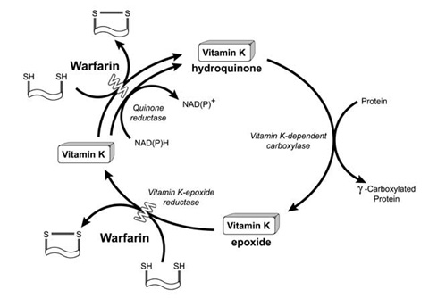 Vitamin K cycle